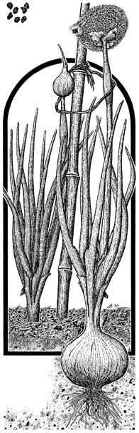 Illustration of Onion for Seed's Savers Handbook